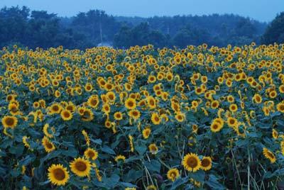 早朝のひまわり畑
